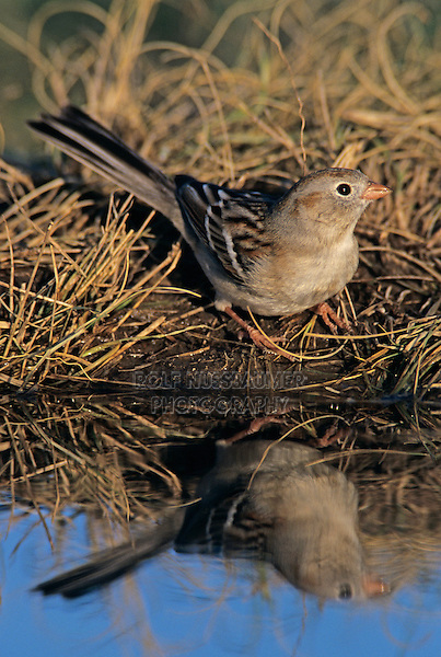 Field Sparrow, Spizella pusilla, adult, Lake Corpus Christi, Texas, USA