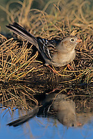 Field Sparrow, Spizella pusilla, adult, Lake Corpus Christi, Texas, USA