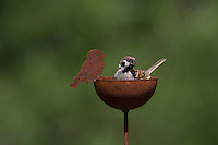 Feldspatz, sitzt auf Garten-Deko, Feld-Spatz, Feldsperling, Feld-Sperling, Spatz, Spatzen, Sperling, Passer montanus, tree sparrow, sparrows