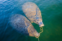 Florida manatee, Trichechus manatus latirostris, a subspecies of West Indian manatee, mother and calf, chewing, flossing with anchor rope, Crystal River National Wildlife Refuge, Kings Bay, Crystal River, Florida, USA, MR