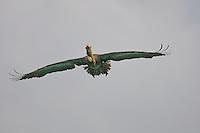 Brown pelican scanning for prey