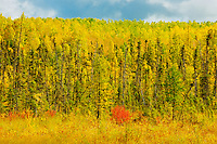 Boreal forest in autumn<br /> Meadow Lake<br /> Saskatchewan<br /> Canada