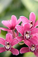 Orchid. Cymbidium.