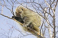 Porcupine hanging out in a birch bark tree