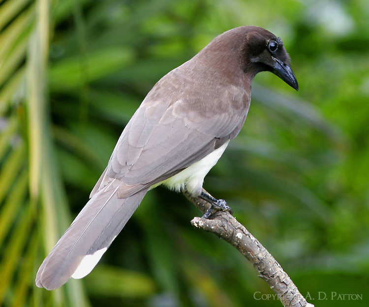 Adult brown jay