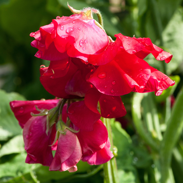 Sweet pea 'Tranquility', mid June.