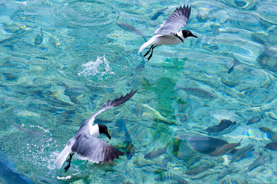 Laughing gulls, Larus atricilla, compete with reef fish for surface morsels, Netherlands Antilles, Bonaire Island, Caribbean.