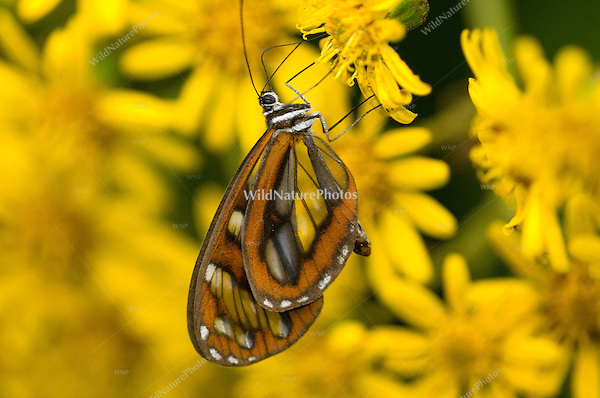 Clearwing butterfly on flower