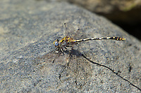 389030013 a wild male gray sanddragon progomphus borealis perches on a rock near a small hot springs in inyo county california