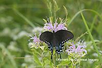 03029-01518 Spicebush Swallowtail (Papilio troilus) on Wild Bergamot (Monarda fistulosa) Marion Co. IL