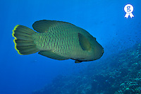 Napoleon Wrasse (Cheilinus undulates) swimming, Red Sea, Egypt (Licence this image exclusively with Getty: http://www.gettyimages.com/detail/82406598 )
