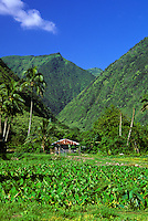 Taro on a farm in Waipio Valley on the Big Island