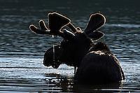 Bull Moose in Velvet, Silhouette
