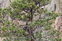 Bald Eagle Nest (Haliaeetus leucocephalus)--adult watching over nest in tall ponderosa pine tree.  Oregon.  May.