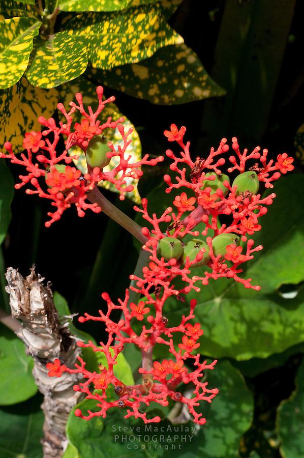 Tropical Flowers, Big Corn Island, Nicaragua