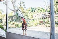 Cockerel in a village at Lake Toba (Danau Toba), North Sumatra, Indonesia