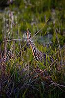 American Bittern, Botaurus lentiginosus, Attwater Prairie Chicken National Wildlife Refuge
