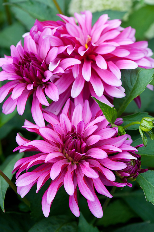 Dahlia 'Gallery Art Nouveau', early August.
