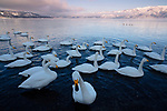 Japan, Hokkaido, whooper swans swimming in lake
