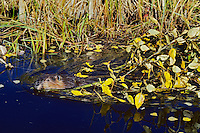 North American Beaver (Castor canadensis) hauling limb back to winter food cache. Fall. Saskatchewan. Canada.