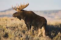 Moose (Alces alces), bull, Grand Teton NP,Wyoming, USA