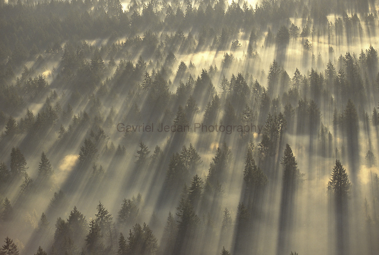 Fir trees and fog ..