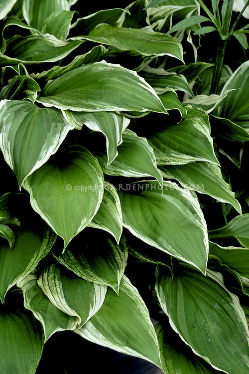 Hosta Decorata Plant Flower Stock Photography Gardenphotoscom