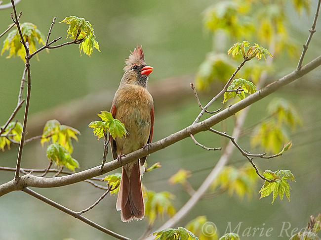 Northern Cardinal (Cardinalis cardinalis) female singing in spring, New York, USA
