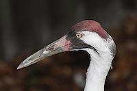 An Endangered Whooping Crane, Grus americana (Captive, Homosassa Springs breeding program)