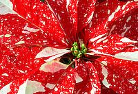 Close up of pointsettias. Al' Garden nursery. tualitin. Oregon