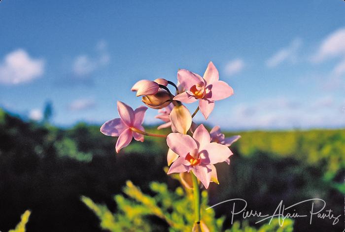 orchidée de l'ile des pins
