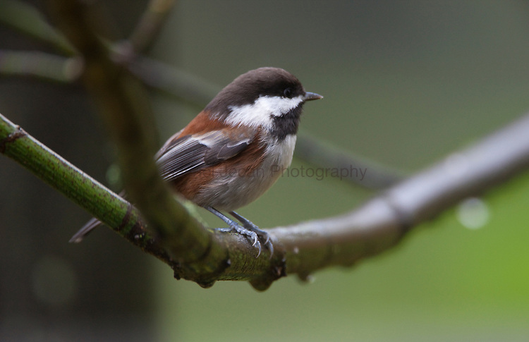Chestnut backed Chickadee ( Poecile rufescens ) on the maple branch in the winter