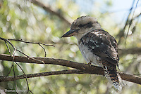 The laughing kookaburra watched the ground intentently for possible prey.