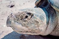 head of nesting Kemp's ridley sea turtle, Lepidochelys kempii, Rancho Nuevo, Mexico, Gulf of Mexico, Caribbean Sea, Atlantic Ocean