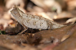 Stump Tailed Leaf Chameleon, Brookesia superciliaris, Ranomafana National Park, Madagascar, brown leaf, camouflaged, Least Concern on the IUCN Red List and Appendix II of CITES