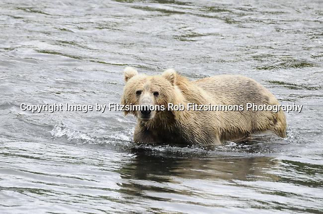 Brown (Kodiak/Grizzly) Bear, Order: Carnivora, Family: Ursidae, Species: Ursus arctos