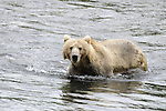 Brown (Kodiak/Grizzly) Bear, Order: Carnivora, Family: Ursidae, Species: Ursus arctos