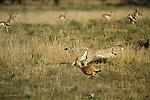 Cheetah (Acinonyx jubatus) in pursuit of Thomson's Gazelle, Serengeti National Park, Tanzania, Africa.