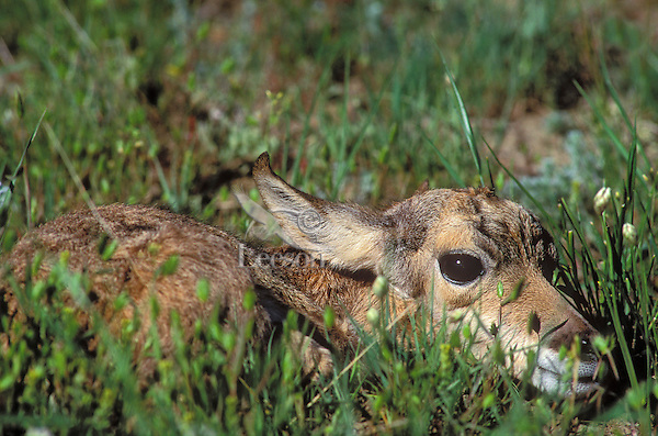 Pronghorn fawn (Antilocapra americana) nearly odorless at just a few days old lays flat and still in prairie grass to hide from predators until mother returns from feeding. Spring, Yellowstone National Park, Montana, U.S.A.