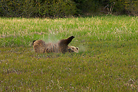 A spring bear rolls in volcano dust after the latest eruption of Mount Redoubt, Lake Clark National Park, Alaska