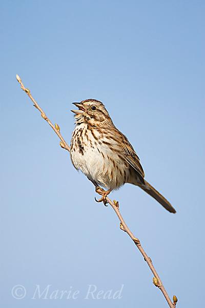 Song Sparrow (Melospiza melodia) male singing, Montezuma National Wildlife Refuge, New York, USA