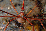 Arrow crab with eggs, Stenorhynchus seticornis