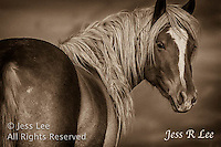 A photo of a wild mustang mare. Wild Horse Photography by western photographer Jess Lee. Pictures of mustangs in the West. Fine art images,Prints,photos Wild horse photo,wildhorses in the american west,