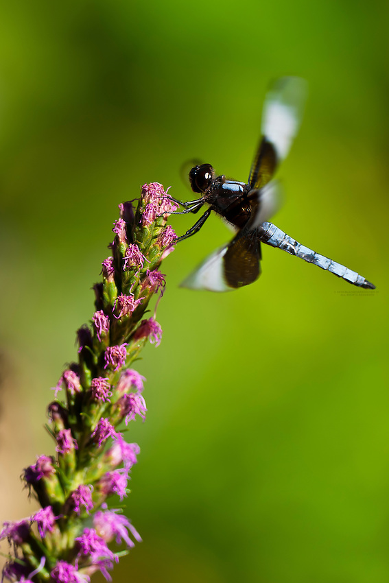 Dragonfly on a lupine flower in a garden, Littleton, Colorado USA