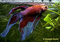 Siamese Fighting Fish - Life Cycle