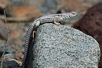 438500002 a wild desert iguana dipsosaurus dorsalis perches on a rock in darwin canyon inyo county california