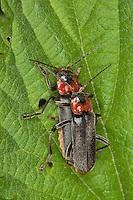 Soldatenkäfer, Soldaten-Käfer, Gemeiner Weichkäfer, Paarung, Kopula, Cantharis fusca, common cantharid, common soldier beetle