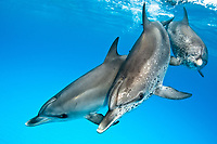 Atlantic spotted dolphin, Stenella longirostris, Bahamas, Caribbean, Atlantic