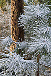 Fresh snow on pine tree sapling pine needles, Yosemite National Park, California