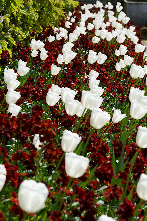 White tulips 'Purissima' and red wallflowers (Erysimum cheiri) 'Vulcan', late April.